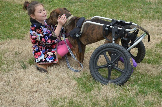 Trooper's sweet new wheelchair